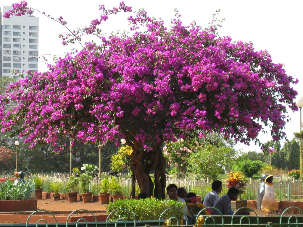 bougainvillea tree | Rekha Eipe | Flickr