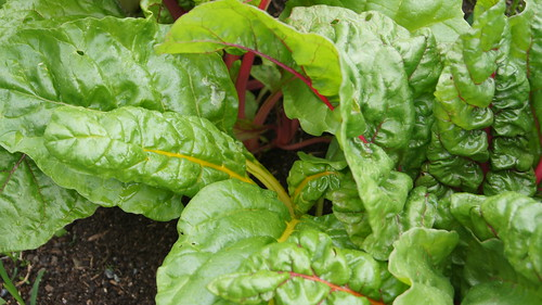 Swiss Chard | by Brooklyn Botanic Garden