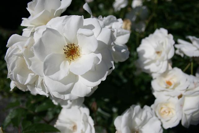 Une Rose Blanche Pour Tous Mes Contacts Et Leurs Souhaite Flickr Photo Sharing