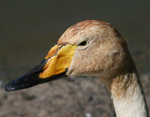 Bewick Swan | by JDPhotography - 1625,000 views, thanks all!!