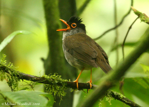 Black-headed Nightingale-Thrush | by Michael Woodruff