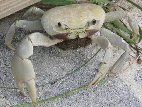 Blue Land Crab Blue Land Crab