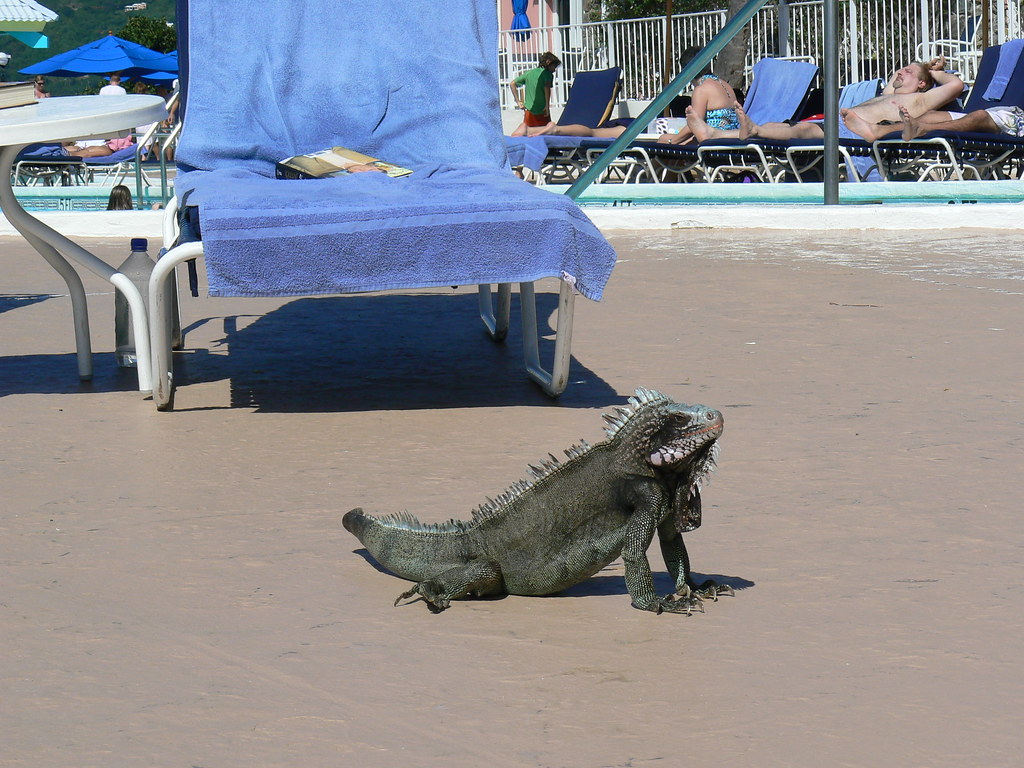Virgin Islands St Thomas Iguana With Pool Chair And U
