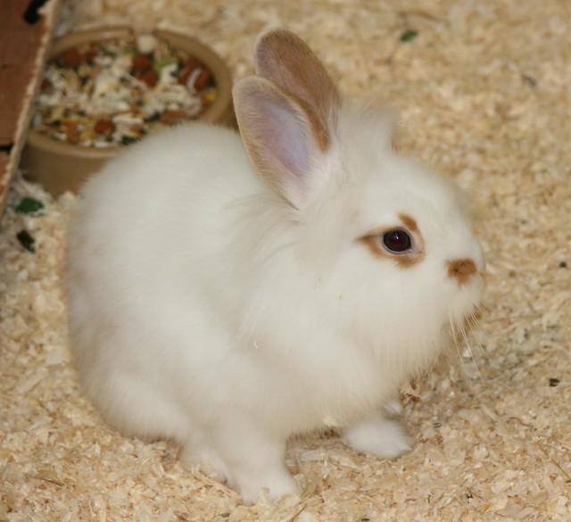 Fluffy White Baby Bunny | Flickr - Photo Sharing!
