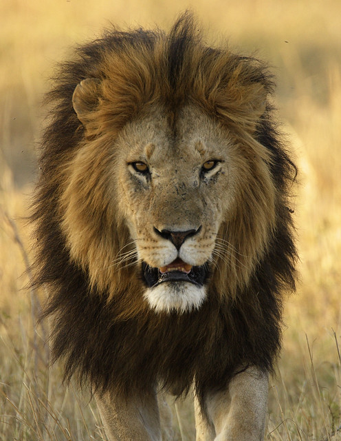 notch of the marsh pride the most beautiful lion to walk