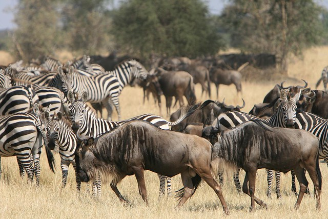 The Serengeti National Park is one of the wonders of the world due to its size and quantity of wildlife found in the archipelago