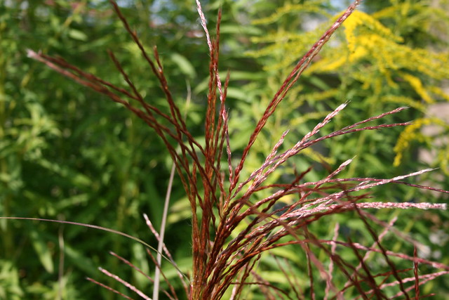 Seed plume ornamental grass flickr photo sharing for Ornamental grasses with plumes