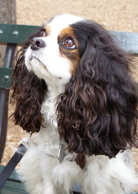 Dog Spaniel Eyes