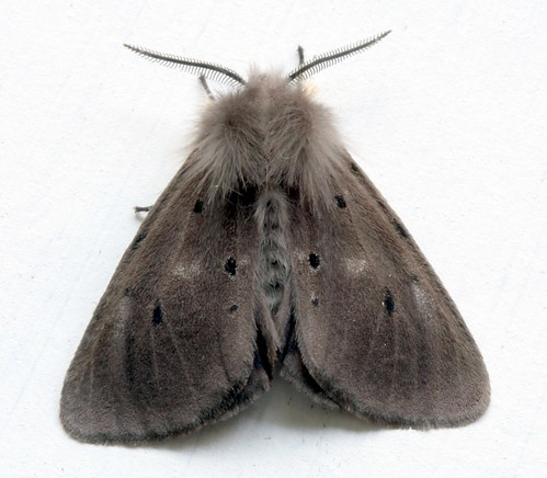 Muslin moth (M) | by Mothrich