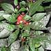 Coffee - United States Botanic Garden
