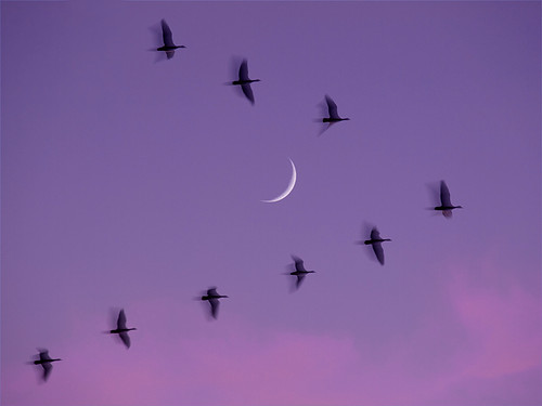 After sunset, moon, 'ghost geese'. | by MistyDays / CB