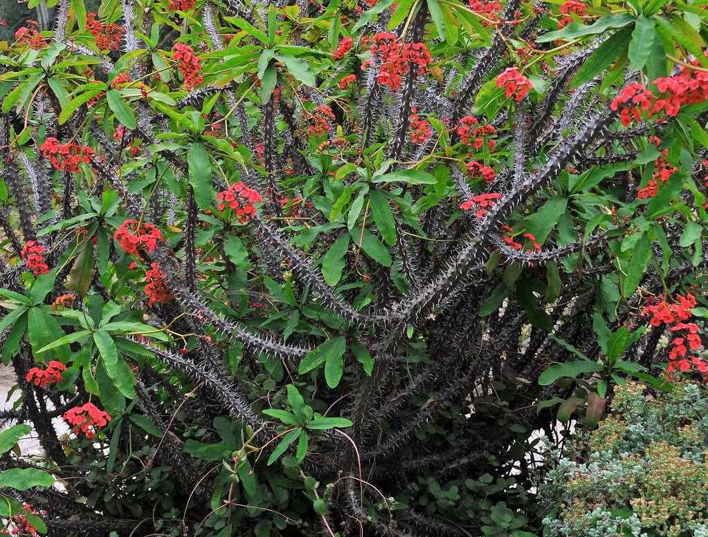 Crown of thorns plant in apache red the species of for Crown of thorns plant
