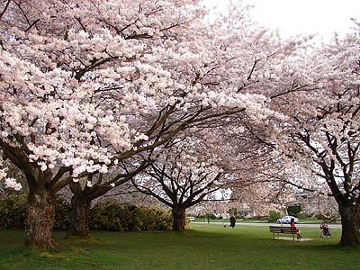 Cherry Blossom Queen Elizabeth Park Vancouver Bc Canada Flickr