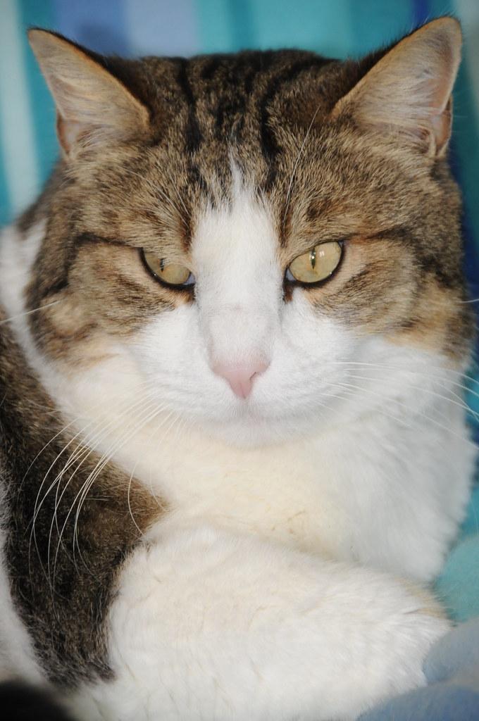 Fauteuille Europeen : Mon léo chat europeen sur le fauteuil du patron
