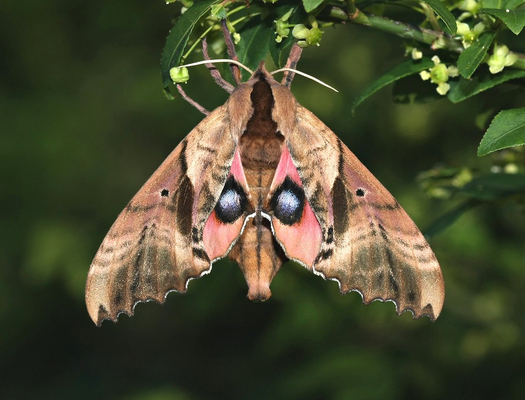 Blinded Sphinx Moth I Found This Gal Hanging On The Fire