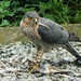 Sparrowhawk with feather of a bird that seems to be very dead.