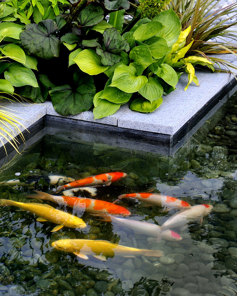 The burgbad sanctuary koi pool 1 images from amphibian for Koi show pools