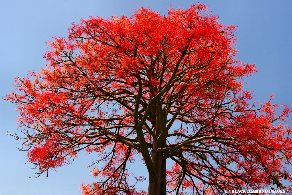 Brachychiton acerifolius illawarra flame tree all for Tree with red flowers