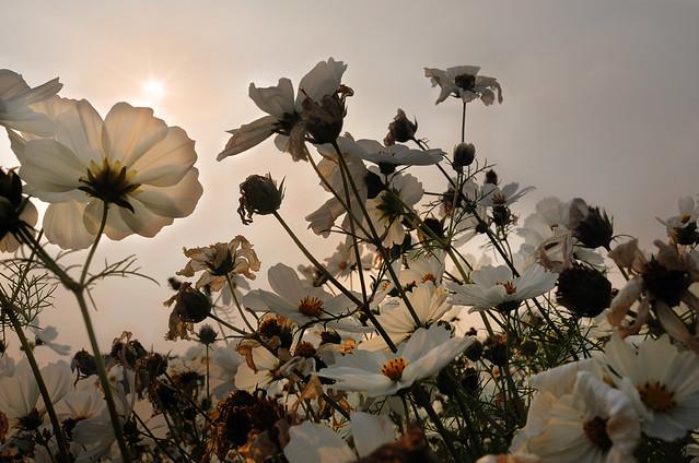 Field Of Dead Flowers