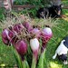 Red Candy Apple spring onions (and two supervisors)
