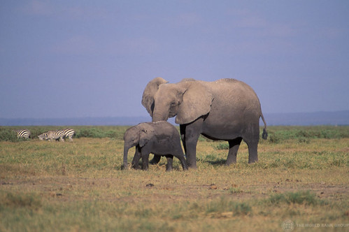 Elephants with zebras nearby in the background | by World Bank Photo Collection