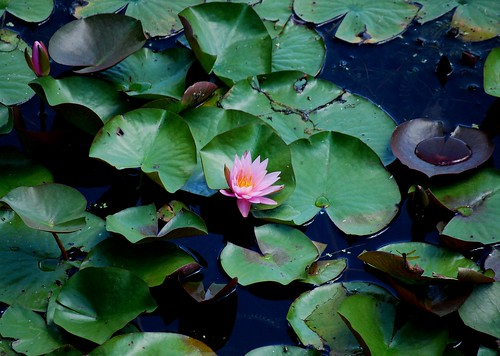 waterlily | by I Should Be Folding Laundry