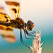 Dragonfly_0220.jpg
