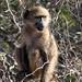 baby baboon 2