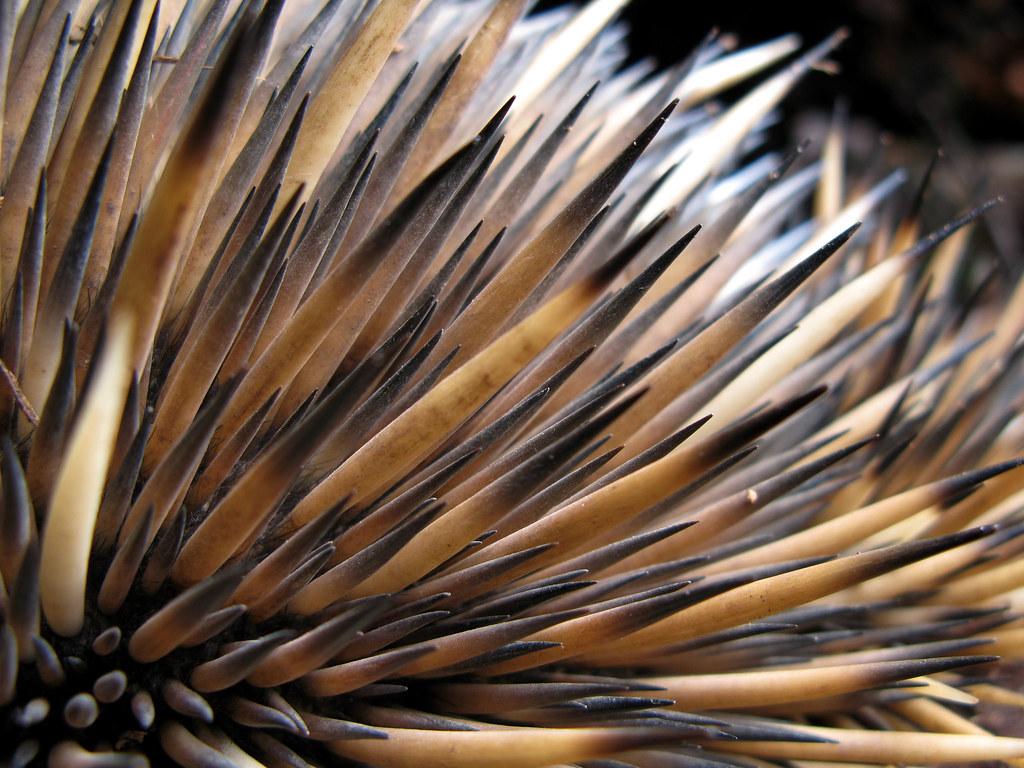 Echidna Spines An Echidna From Dryandra Woodland We