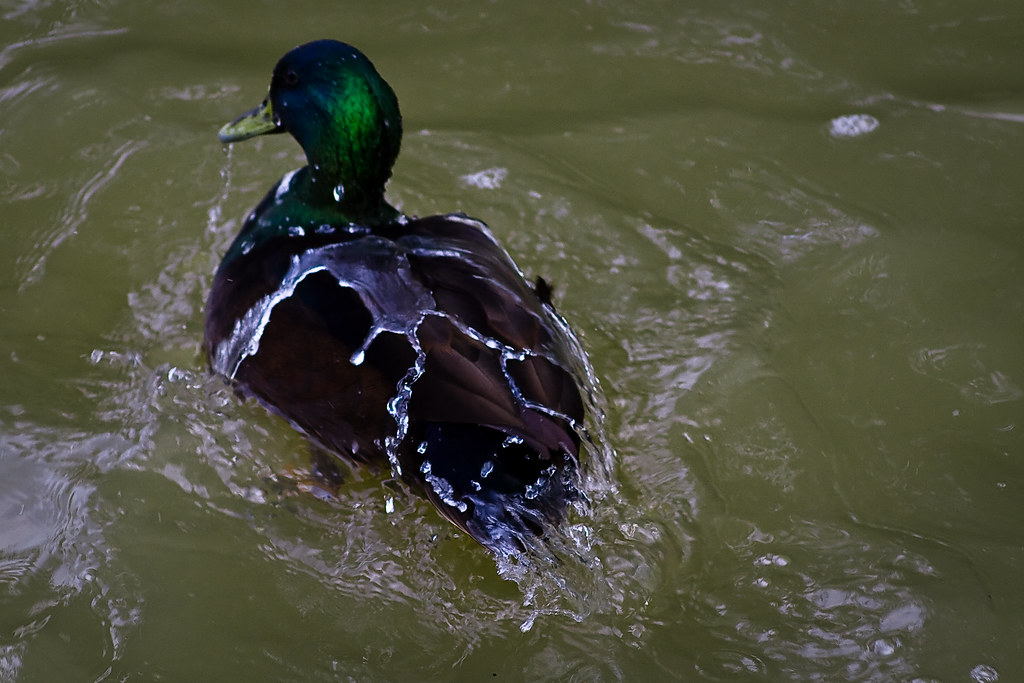 Water off a Duck's Back | Mark Robinson | Flickr