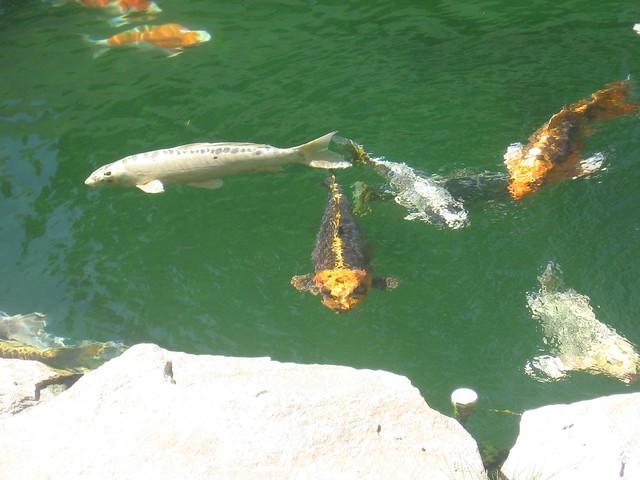 Img 2585 explore john beales 39 photos on flickr john for Koi fish pond kelowna