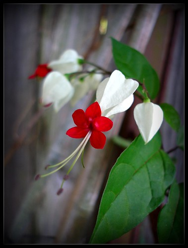 Bleeding Heart Vine | by Colleen Shepherd