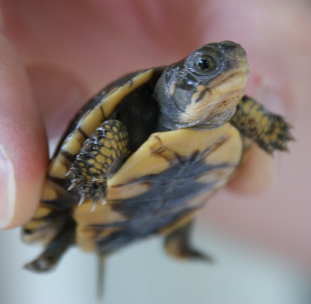 Box Turtle Baby Food