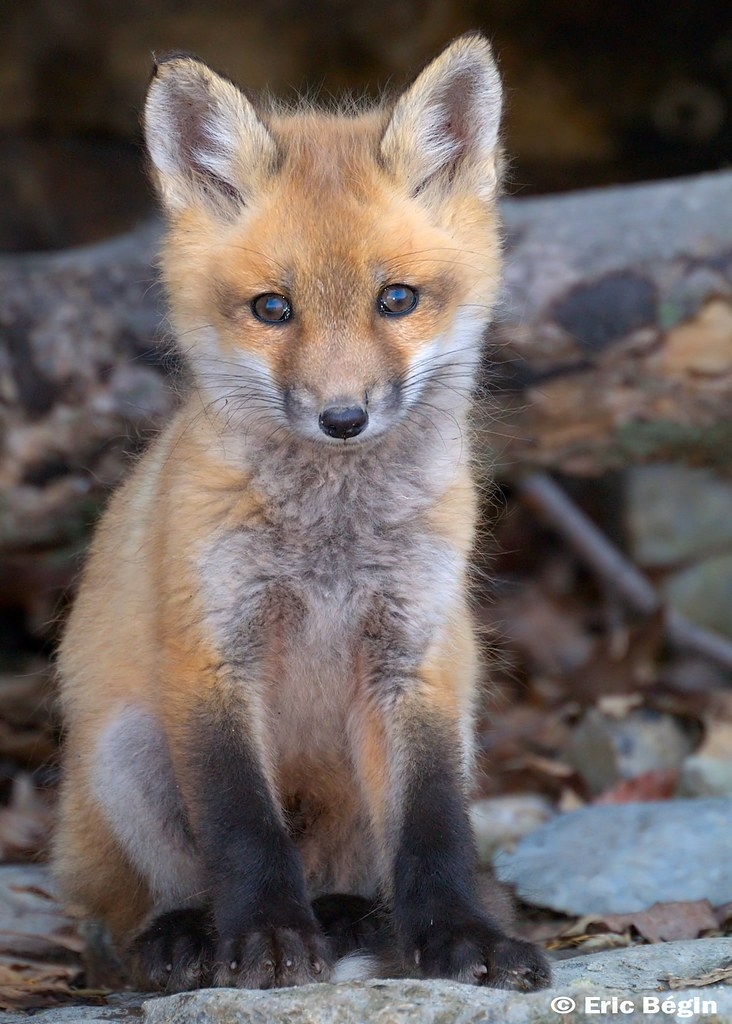 Red Fox Pup Wild 2 Of 16 Went Hicking Today Along