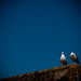 Shouty Gulls