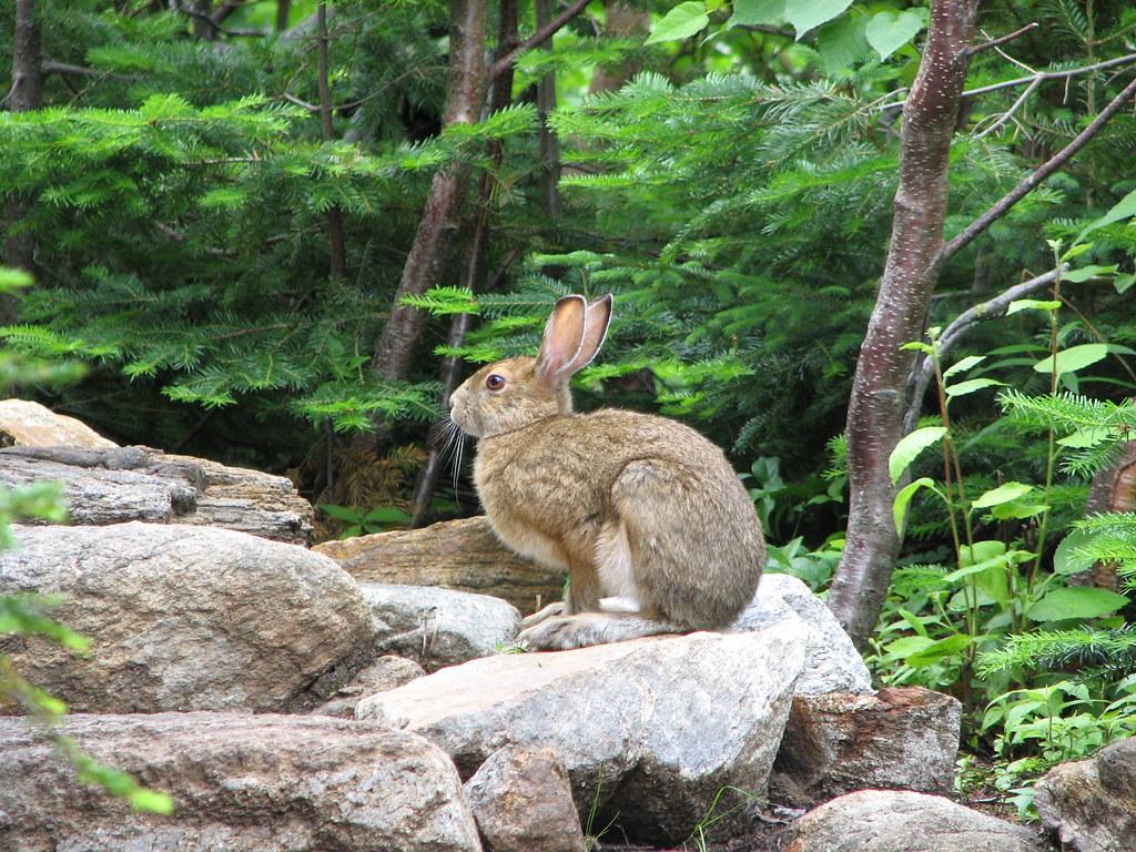 Parc des Hautes-Gorges-de-la-rivière-Malbaie  Lièvre très ...