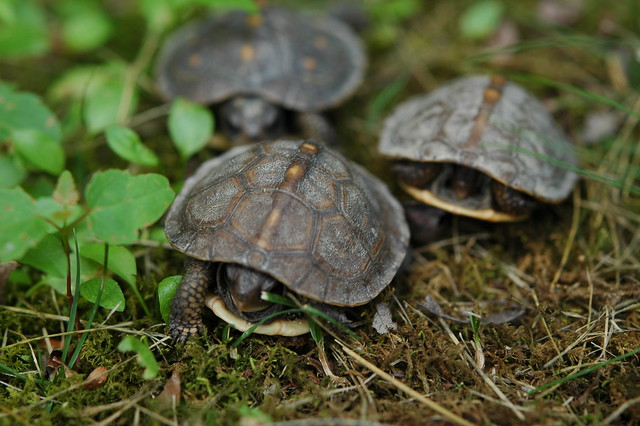baby turtles 034 flickr   photo sharing