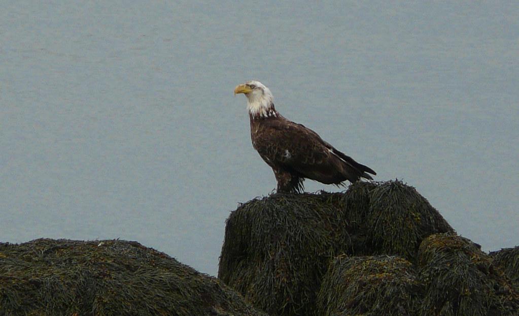 An Eagle On The Rocks Near The Lighthouse Head Harbour