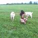 goat wrangling