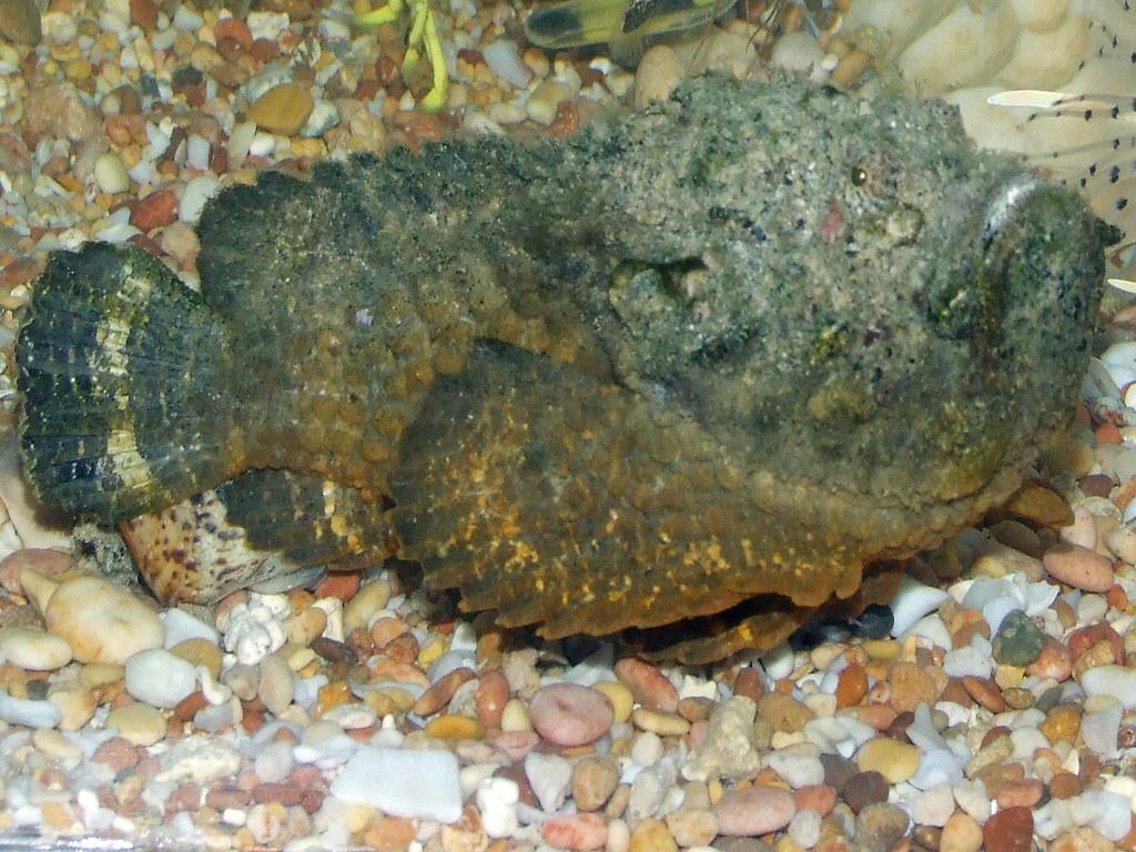 Synanceiidae Gt Synanceia Verrucosa Reef Stonefish 0017 Flickr