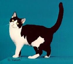 Cfa cat breed black amp white american shorthair by garden state cat