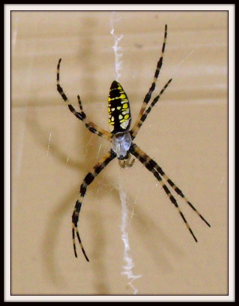 Black And Yellow Garden Spider Argiope Aurantia Chicad58 Flickr