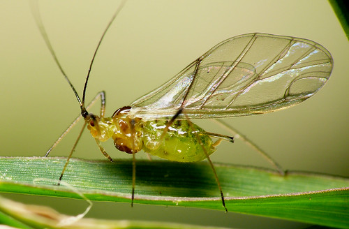 Pulg n fido alado flickr photo sharing - Fotos de insectos para imprimir ...