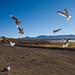 Gulls in Bolivia