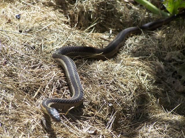 Garden Snake Flickr Photo Sharing
