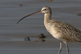 Long-Billed Curlew (Numenius americanus) | by mikebaird