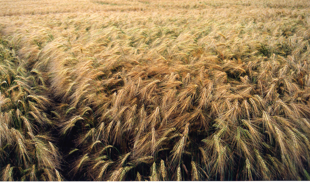 Barley Field Barley Field View On Black Crabchick Flickr