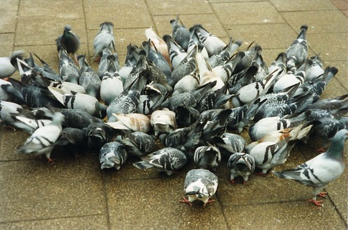 Feral Pigeons Feeding Frenzy, Barnsley Town Centre | by Steve Greaves