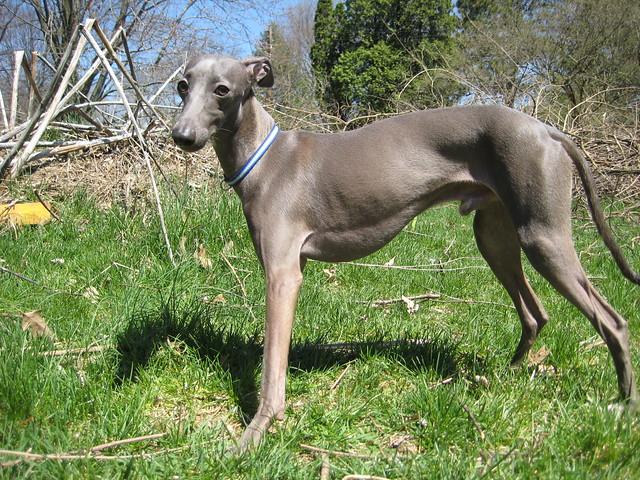 Enzo the Italian Greyhound