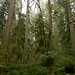 Old growth along Sandy River